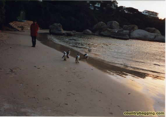 Penguins at Simonstown - www.countrybagging.com
