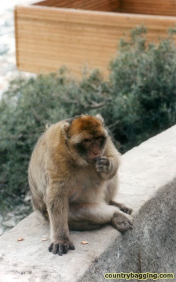 A Barbary ape - www.countrybagging.com